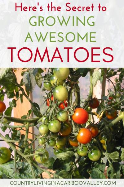 The #1 tip for growing great tomatoes. Here's what you need to know to grow big beautiful backyard tomatoes. #gardening #tomatoes #growingtomatoes #tomatohacks #DIYgardening