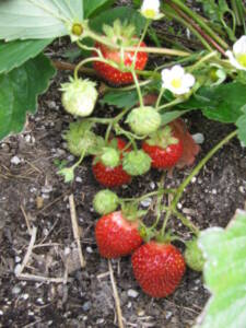 Grow your own organic berries