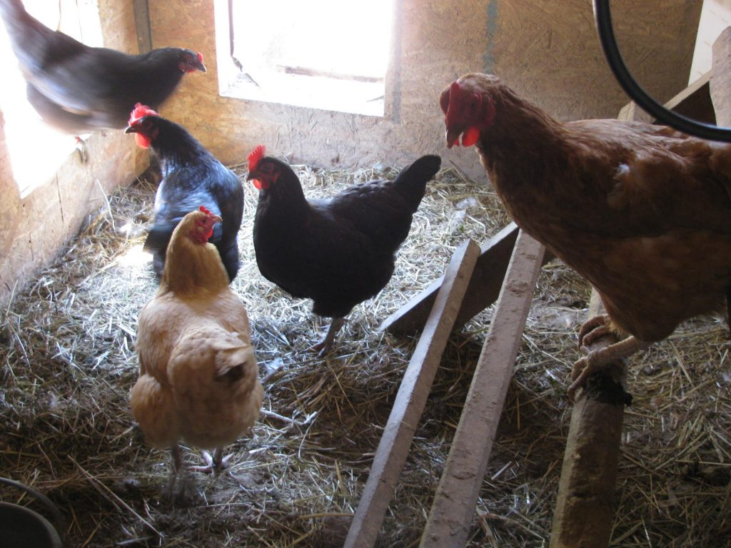 Chickens sitting on their roost in their coop