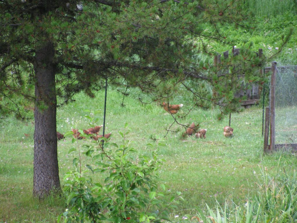 chickens free ranging in the yard eating bugs