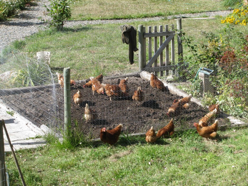 Chickens work over an garden area getting rid of weeds and bugs