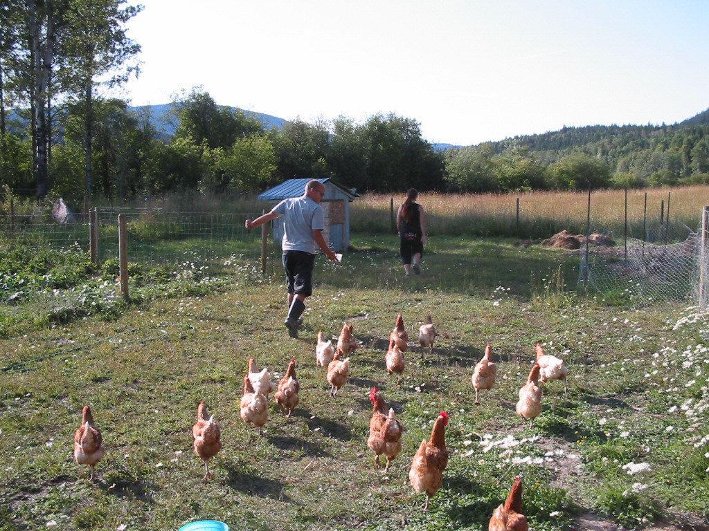 raising chickens, chicks