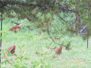 laying hens foraging for food