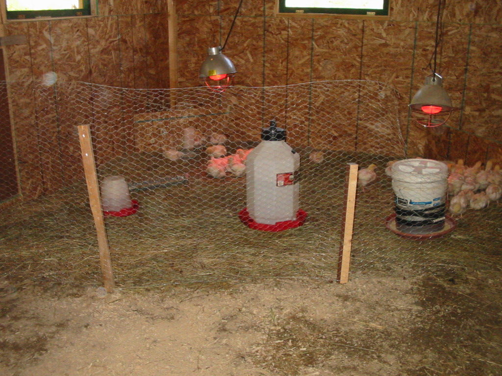 building a barn, raising meat chickens, raising pigs