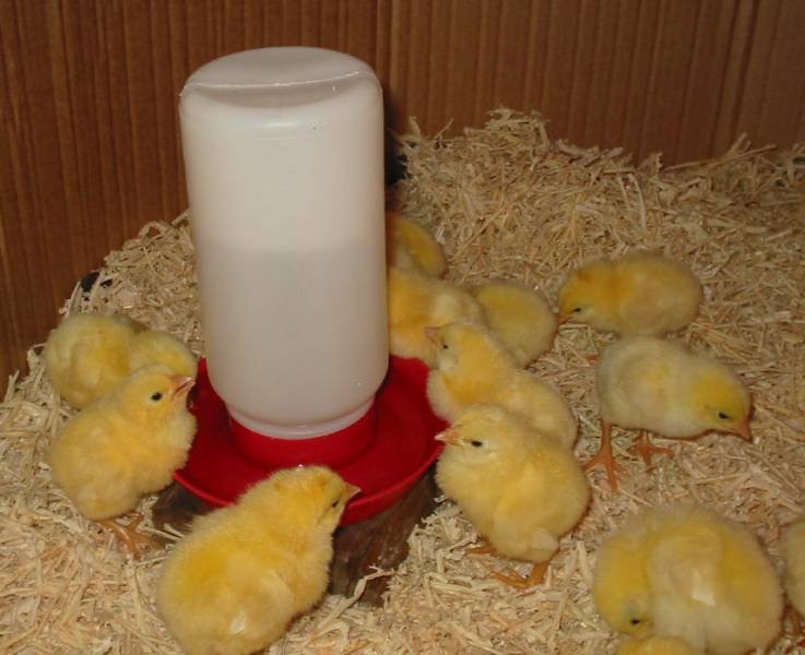 New chicks drinking water