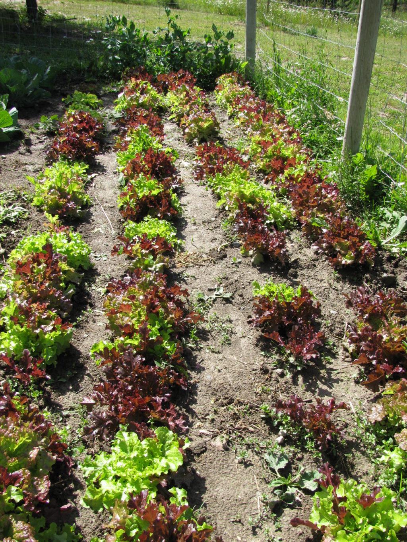 grow lettuce, grow greens
