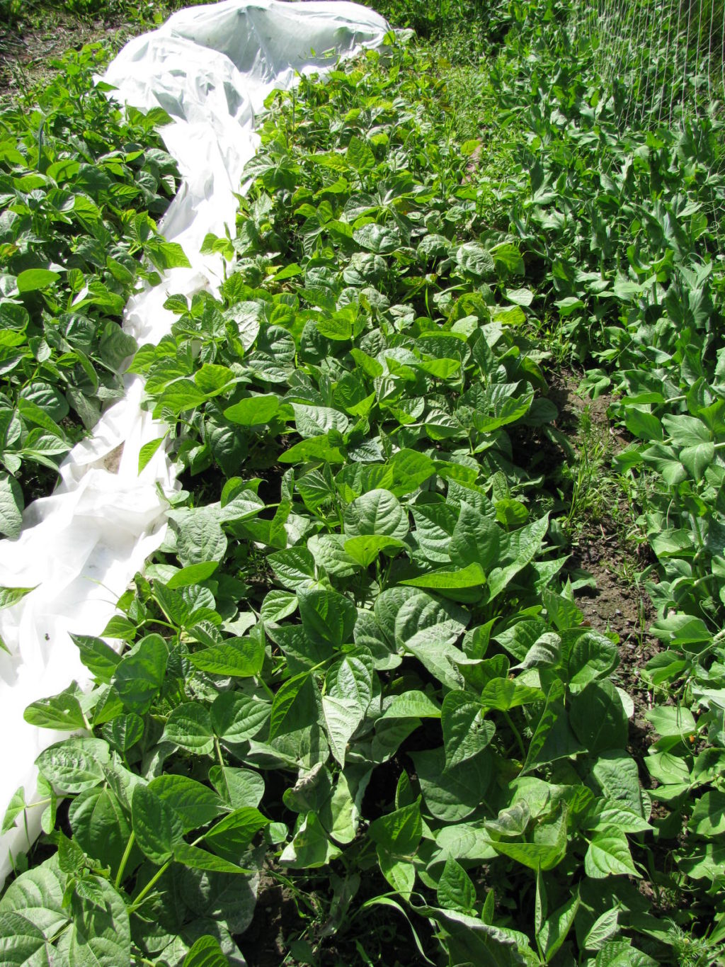 vegetable garden, how to grow your own food