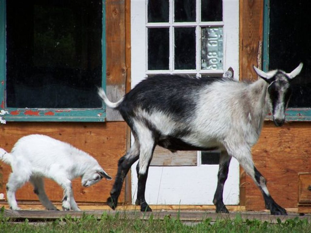 a baby goat follows his mom outside a house