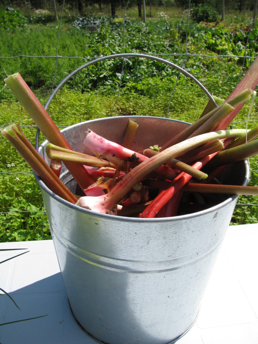rhubarb stalks in a metal pail freshly harvested