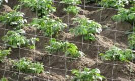 potatoes growing in garden