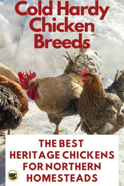 Heritage Chickens in a snowy field.