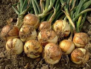How to grow onions from sets in the garden or in containers