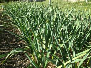 Canada garlic, ship across Canada, naturally grown, organic certified seed