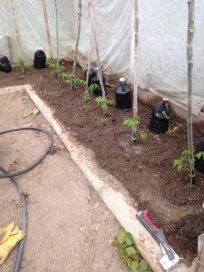 Transplanted Tomatoes