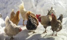 Heritage Chicken breeds in snowy yard