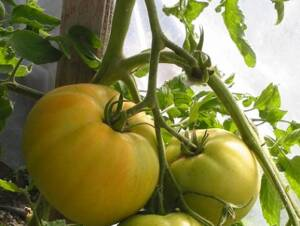 Transplanted Tomatoes growing in a greenhouse