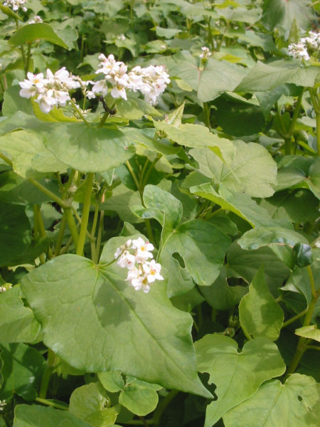buckwheat, green manure, cover crop, organic, gardening, fall rye