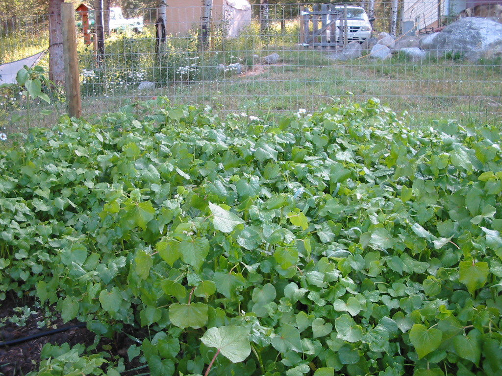 buckwheat, green manure, soil, gardening, fall rye, organic, heirloom