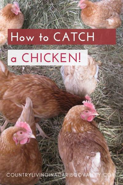 Chickens 101 - what you need to know if you want backyard chickens. #chickens #homesteading #backyardchickens