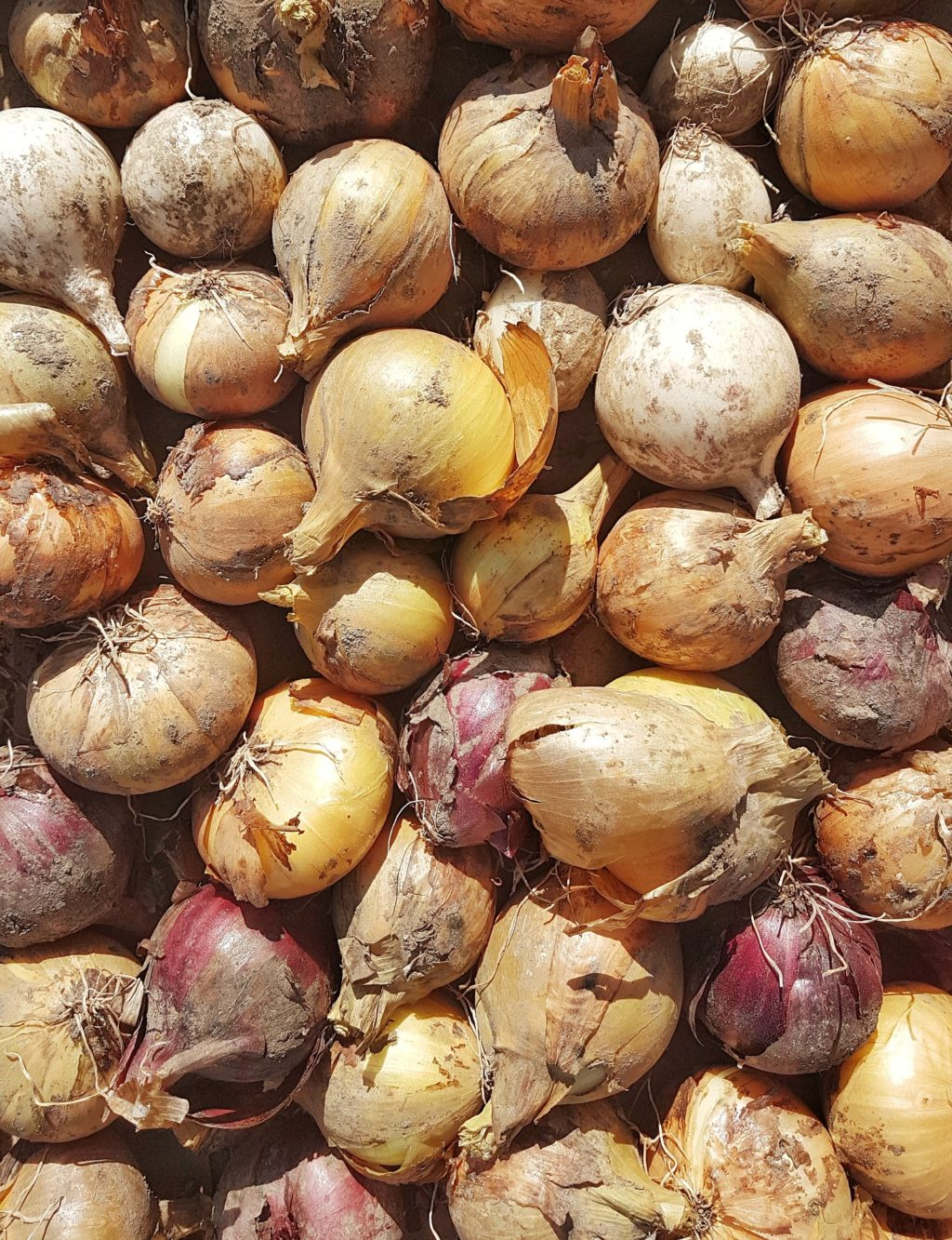 Grow big harvest of onions in a small space or even in a container.