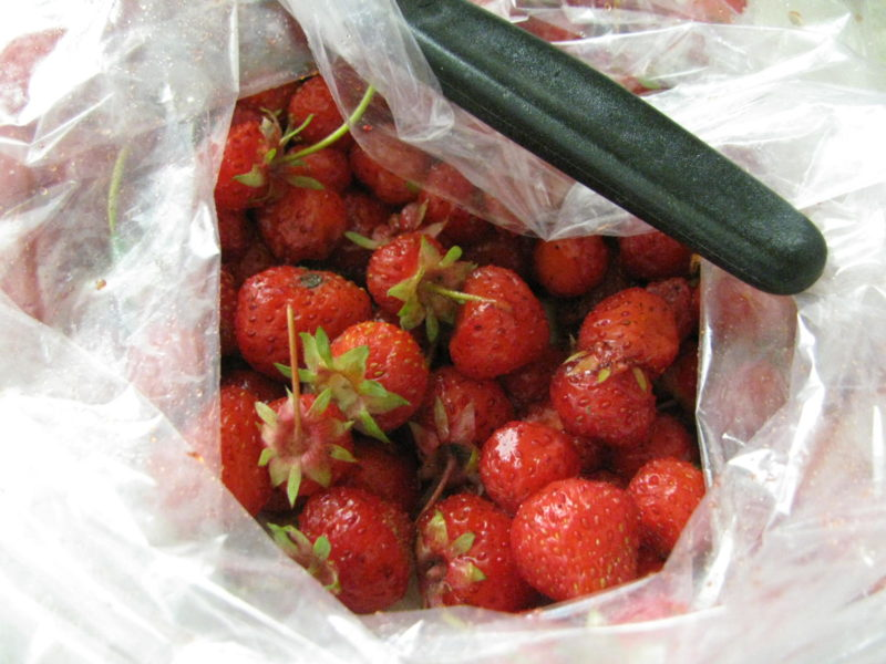Fresh picked Strawberries are going to be made into Strawberry Jam.