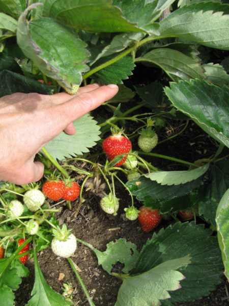 Strawberries in the garden will be used for making freezer jam.