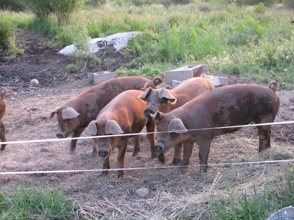 Here's how to raise pigs for meat. Fill your freezer with pork