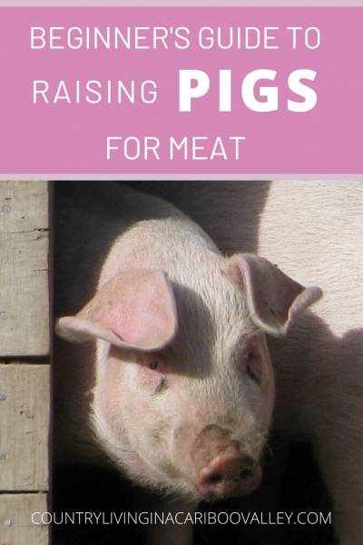 Raising pigs for meat is a great way to save money