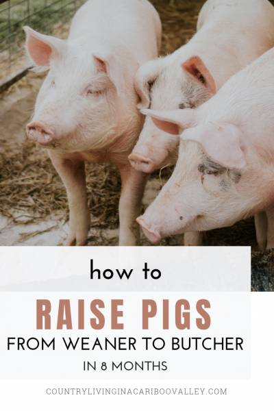 How to raise a pig from weaner to butcher in 8 months. Grow your own pork and fill your freezer. #pigs #farm #homesteading #selfsufficiency #livestock #weanerpigs #piglet