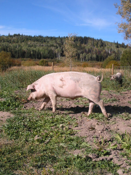 Raise your own pork for the dinner table. #pig #garden #homesteading
