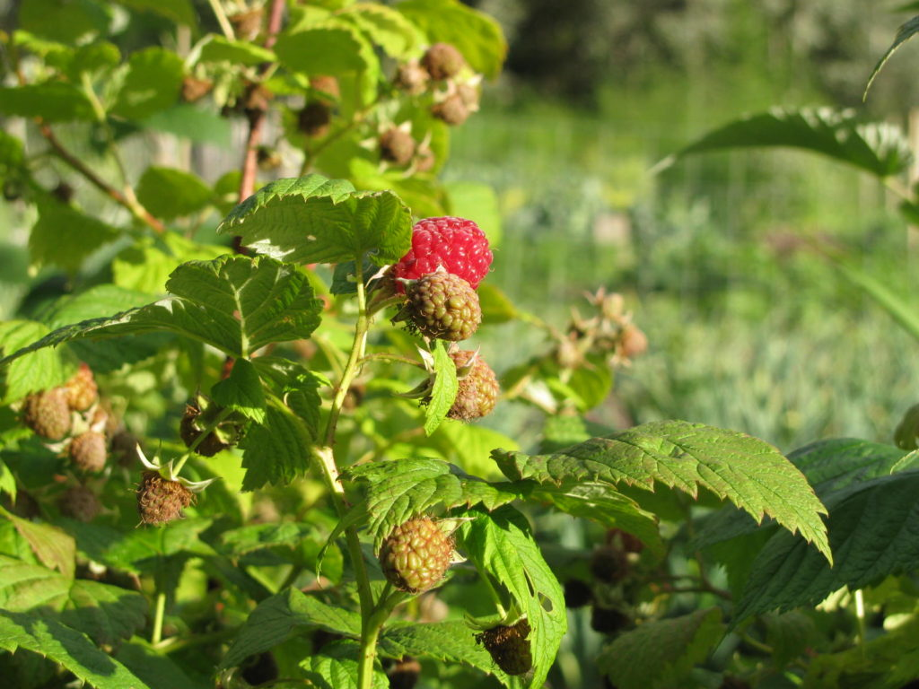 growing raspberries, taking care of raspberry, pruning raspberries