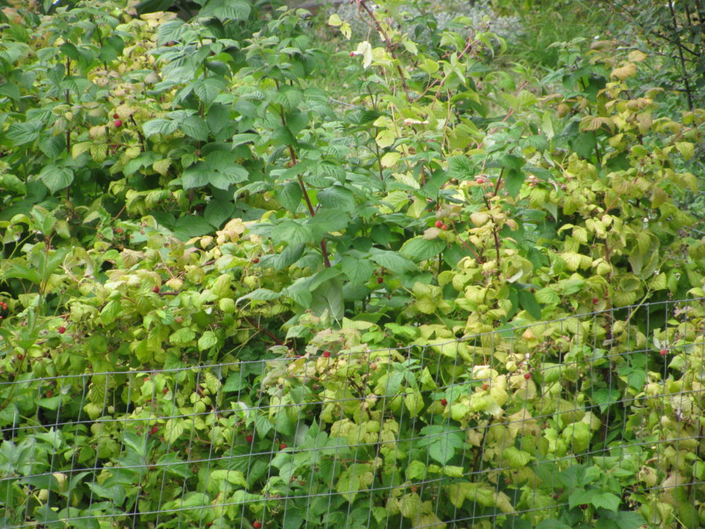 grow raspberries, clean raspberry bed, berries