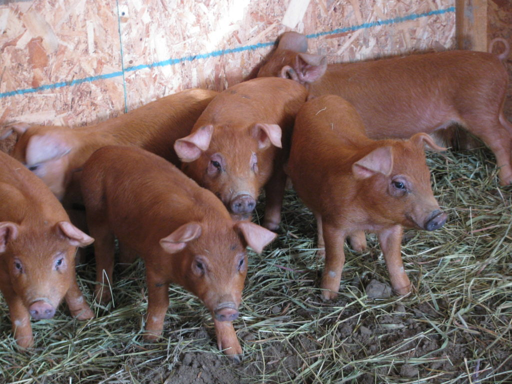 Small weaner pigs in the barn