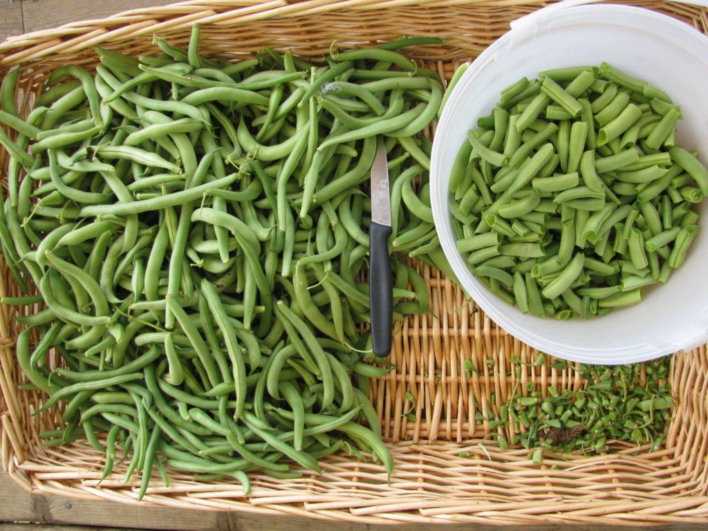 A Harvest of Fresh Green Beans