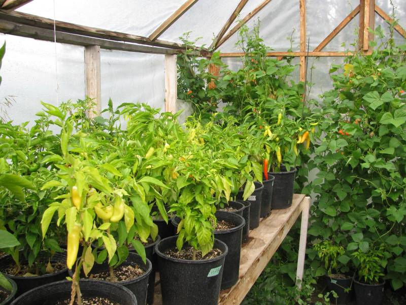 peppers and beans growing in a greenhouse