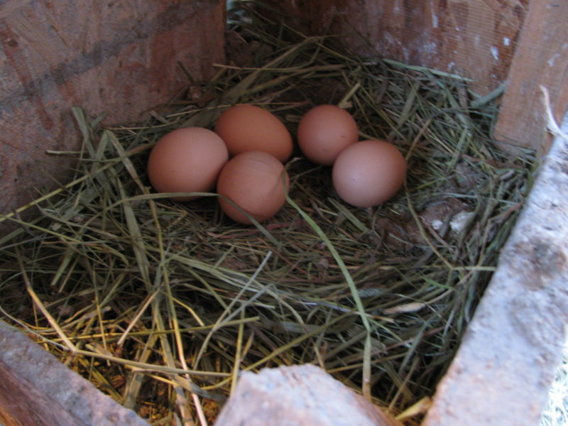 Fresh eggs in a chicken coop.
