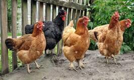 Raising chickens in the backyard.