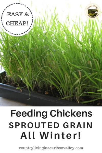 a tray of sprouted grain is ready for the chickens to eat