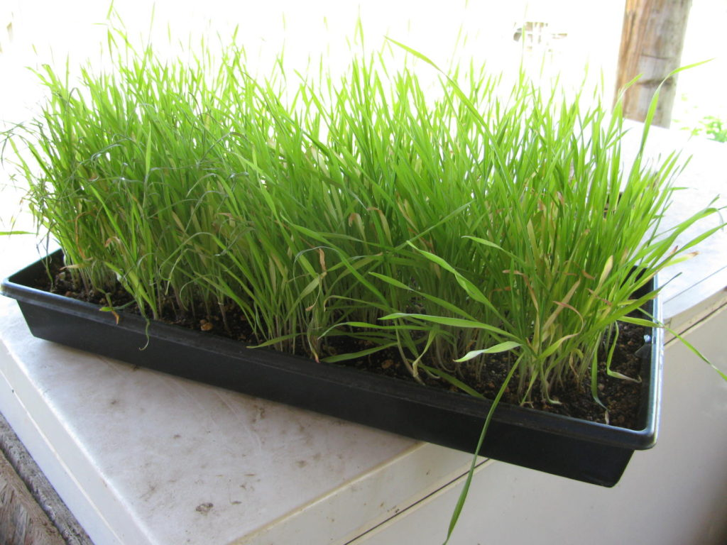sprouted grain, laying hens, grow fodder