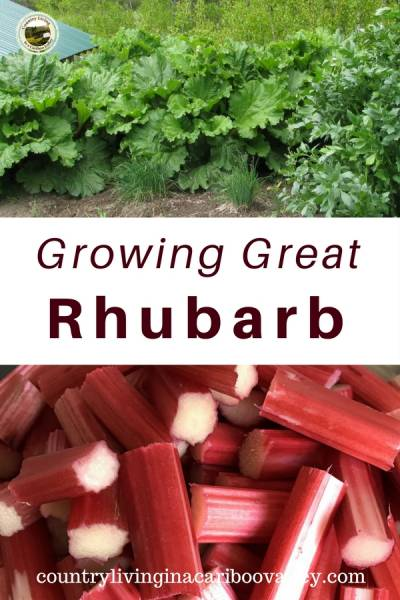 Plant Rhubarb and it will come back every year. Easy too grow and great in all kinds of recipes. How to grow Rhubarb. #rhubarb #gardening #perennial