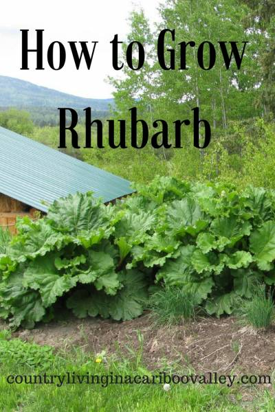 Rhubarb plants growing in a garden bed