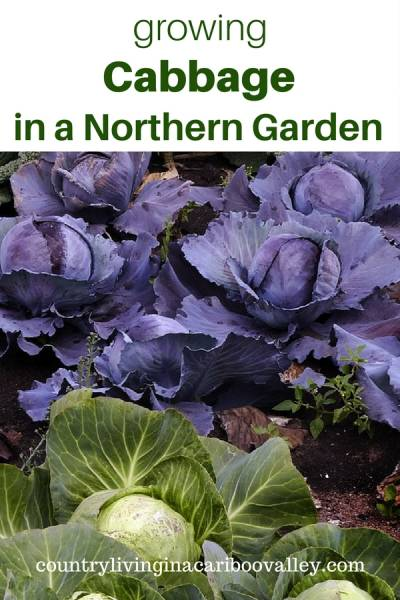 Everything you want to know about growing cabbage in the garden. #garden #food #cabbage #backyardgarden
