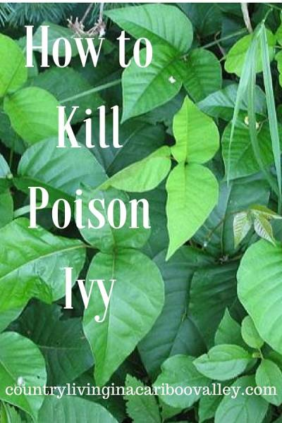 Poison Ivy leaves growing in a yard
