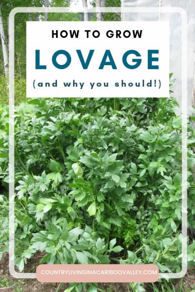 Lovage is a perennial herb that grows tall. Pretty to look at and delicious to eat. Here's how to grow, harvest and preserve the herb Lovage. #herbs #preserving #dehydrating #gardening