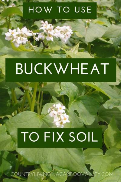 Buckwheat is a fantastic soil builder. Grows really fast and easy to dig under. Fix your soil with Buckwheat. #gardening #soil #buckwheat #greenmanure