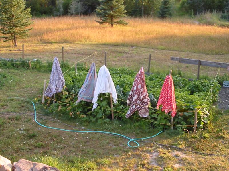 bed sheets draped over pole bean teepees protecting against frost