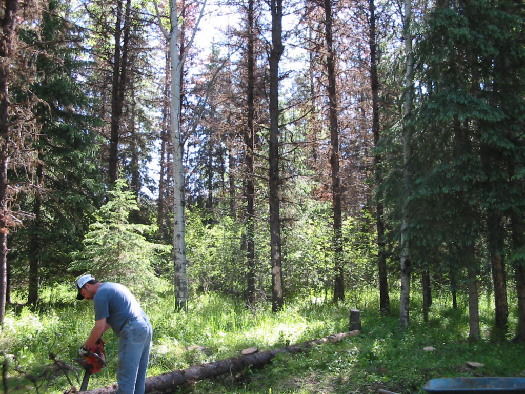 pine beetle killed trees waiting to be taken down