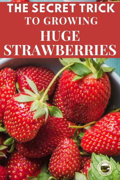 red juicy strawberries right after picking
