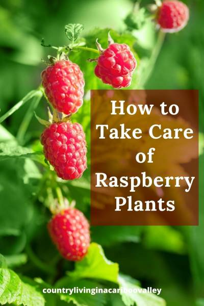 Tips for taking care of Raspberry Plants by Pruning and Clean up
