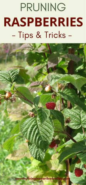 Fruiting raspberry bushes in backyard wait for pruning.